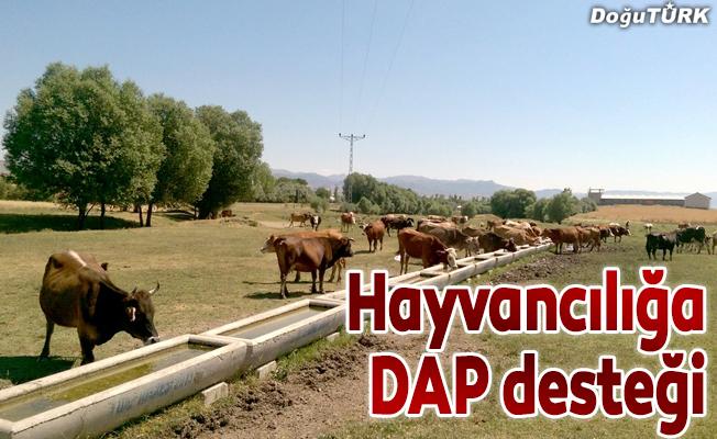 Hayvancılığa DAP desteği