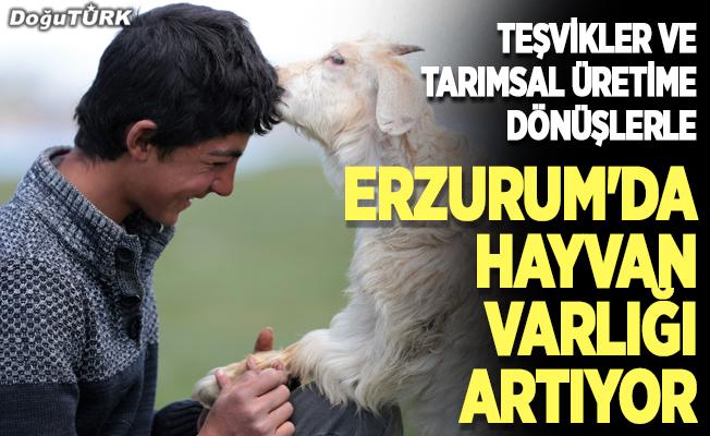 Teşvikler ve tarımsal üretime dönüşlerle Erzurum'da hayvan varlığı artıyor