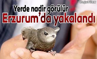 Yerde nadir görülen kuş Erzurum'da bulundu