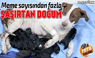 Bir batında 13 yavru doğurdu