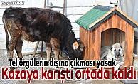 Kazaya karışan inek sahipsiz kaldı