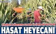 Çiftçilerin kullanımına sunulan Hazineye ait arazilerde hasat heyecanı